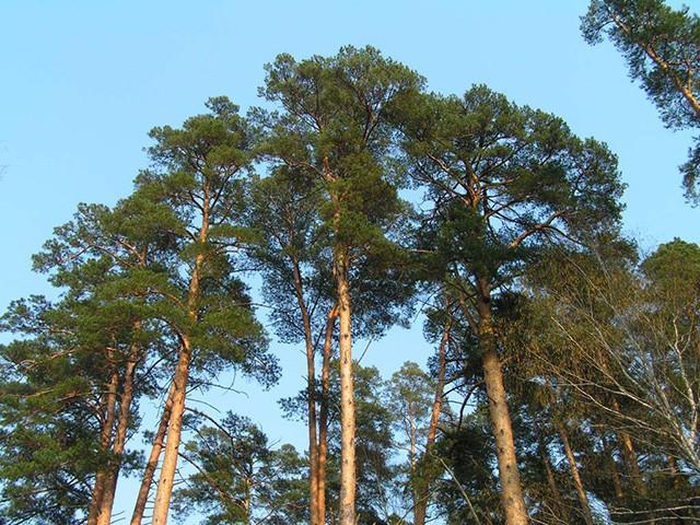 дерево для производства пиломатериалов