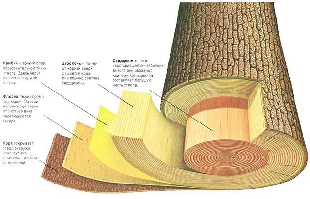 камбий на схеме строения слоев древесного ствола