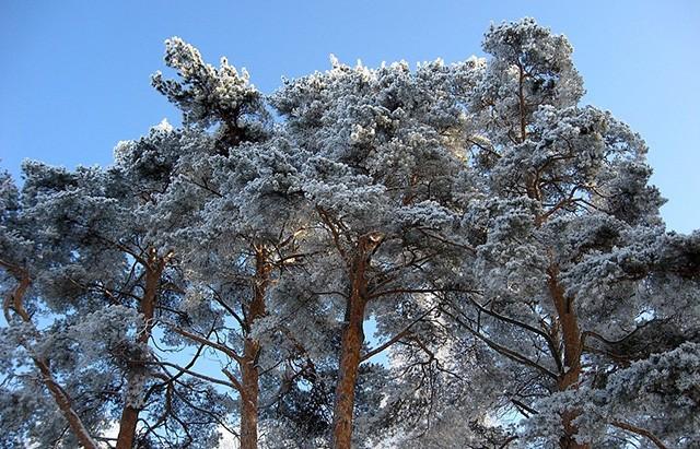сосны из зимнего леса